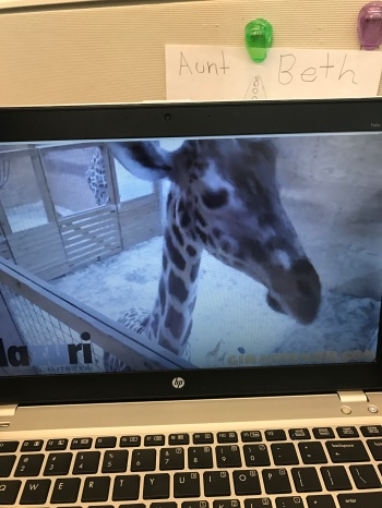Obsession begins with April the Giraffe